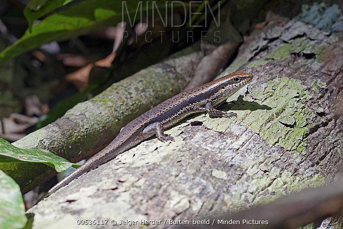Skink (Mabuya nigropunctata), Brownsberg Nature Park, Suriname  -  Jelger Herder/ Buiten-beeld
