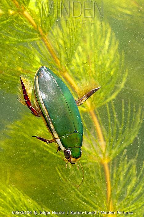Diving Beetle (Cybister lateralimarginalis), Broek op Langedijk, Netherlands  -  Jelger Herder/ Buiten-beeld