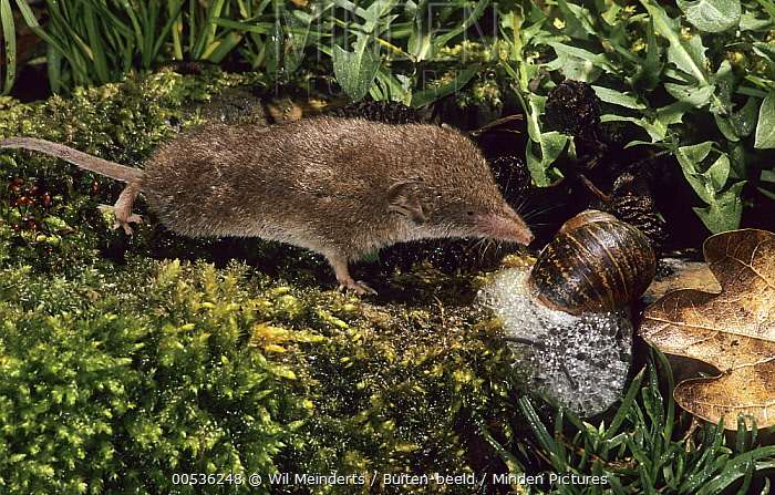 Greater White-toothed Shrew (Crocidura russula) attacking Brown Garden Snail (Helix aspersa) trying to defend itself with mucus, Netherlands  -  Wil Meinderts/ Buiten-beeld