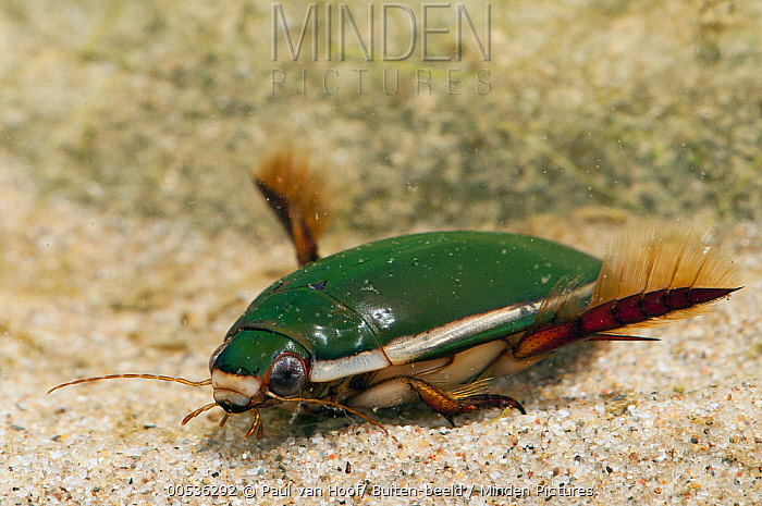Diving Beetle (Cybister lateralimarginalis), Netherlands  -  Paul van Hoof/ Buiten-beeld