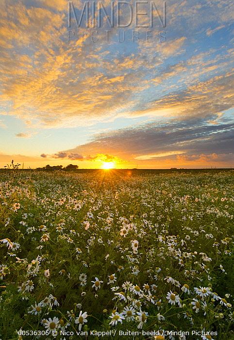 German Chamomile (Matricaria chamomilla) flowering at sunrise, Zuidland, Netherlands  -  Nico van Kappel/ Buiten-beeld