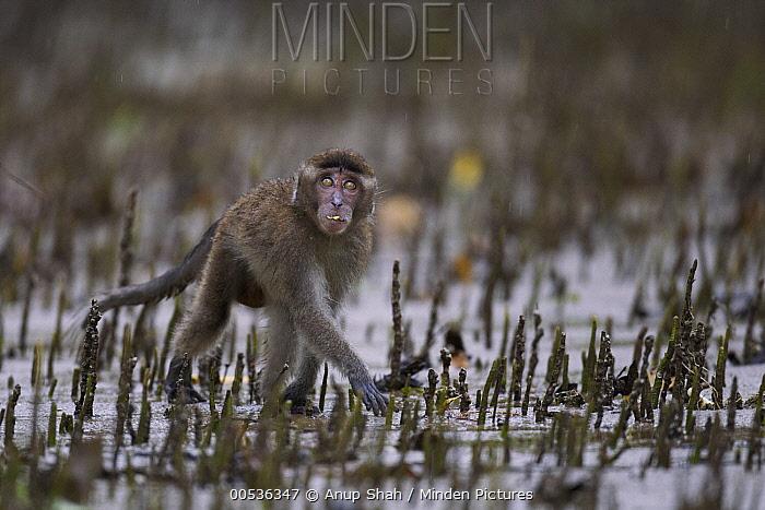 Long-tailed Macaque (Macaca fascicularis) juvenile foraging in mangrove swamp, Bako National Park, Sarawak, Borneo, Malaysia  -  Anup Shah