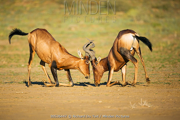 Common Hartebeest (Alcelaphus buselaphus) males play fighting, Kgalagadi Transfrontier Park, South Africa  -  Richard Du Toit