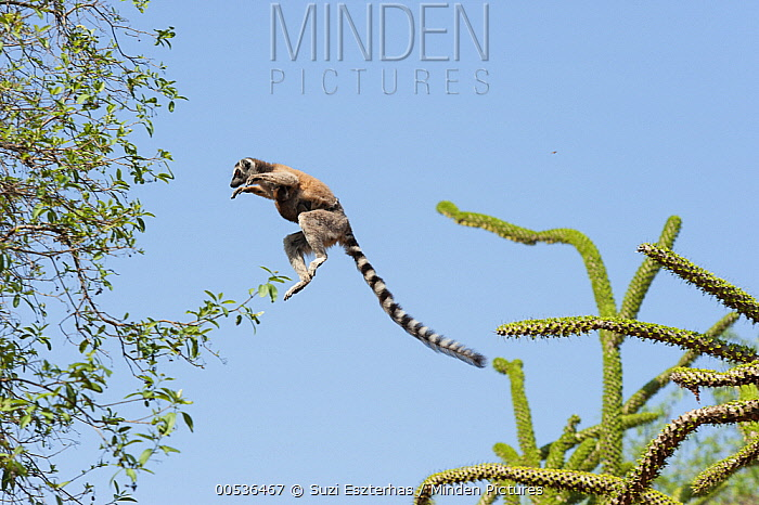 Ring-tailed Lemur (Lemur catta) mother with baby leaping between trees, Berenty Private Reserve, Madagascar  -  Suzi Eszterhas