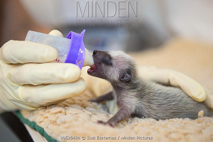 Raccoon (Procyon lotor) orphaned baby being bottle-fed by staff, WildCare Wildlife Rehabilitation Center, San Rafael, California  -  Suzi Eszterhas