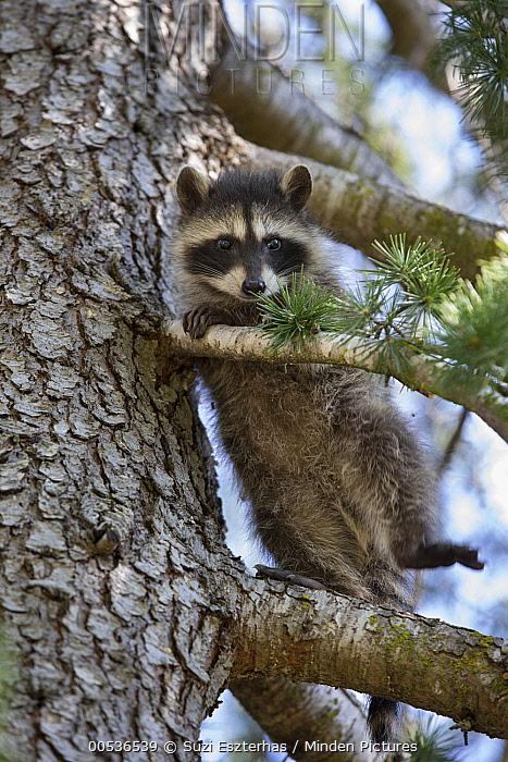 Raccoon (Procyon lotor) orphaned baby in tree in backyard of foster home, WildCare Wildlife Rehabilitation Center, San Rafael, California  -  Suzi Eszterhas