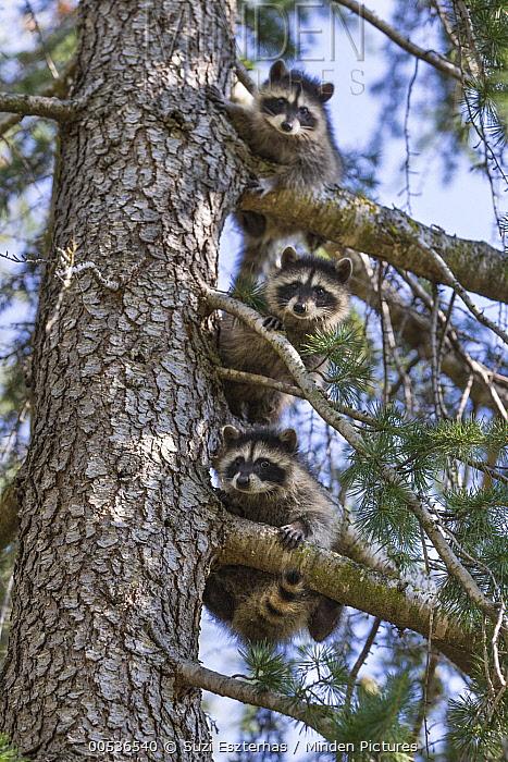 Raccoon (Procyon lotor) orphan learning to climb trees in backyard of foster home, WildCare Wildlife Rehabilitation Center, San Rafael, California  -  Suzi Eszterhas