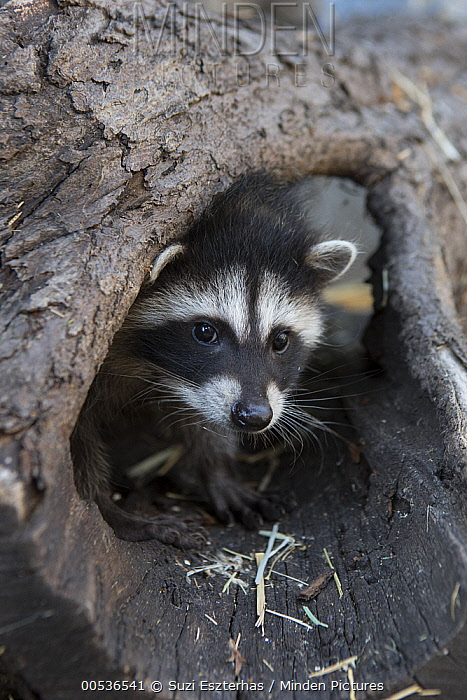 Raccoon (Procyon lotor) orphaned juvenile, WildCare Wildlife Rehabilitation Center, San Rafael, California  -  Suzi Eszterhas
