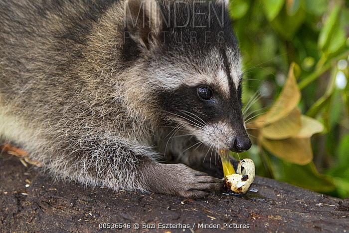 Raccoon (Procyon lotor) orphaned juvenile eating an egg, WildCare Wildlife Rehabilitation Center, San Rafael, California  -  Suzi Eszterhas