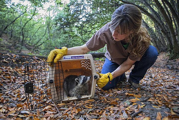 Raccoon (Procyon lotor) orphaned juvenile being released into wild by Shelly Ross, volunteer at WildCare Wildlife Rehabilitation Center, San Rafael, California  -  Suzi Eszterhas