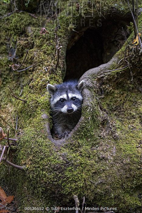 Raccoon (Procyon lotor) orphaned juvenile hiding in hollow trunk after being released into the wild, WildCare Wildlife Rehabilitation Center, San Rafael, California  -  Suzi Eszterhas