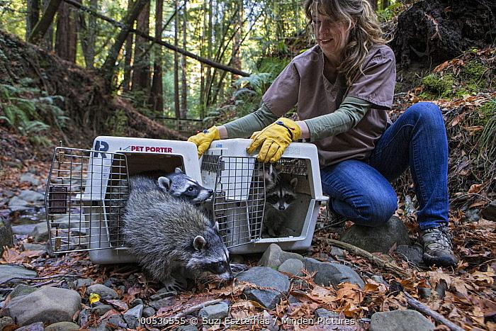 Raccoon (Procyon lotor) orphaned babies at release, WildCare Wildlife Rehabilitation Center, San Rafael, California  -  Suzi Eszterhas