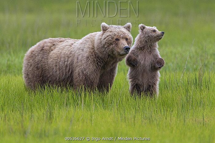 Grizzly Bear (Ursus arctos horribilis) mother and cub in grass, Lake Clark National Park, Alaska  -  Ingo Arndt