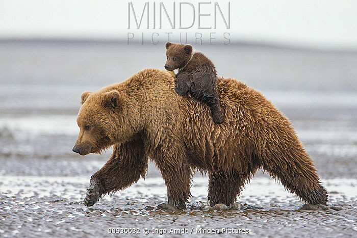 Grizzly Bear (Ursus arctos horribilis) cub on mothers back walking on tidal flats, Lake Clark National Park, Alaska  -  Ingo Arndt