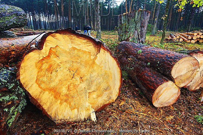 Scotch Pine (Pinus sylvestris) trees felled to create fire break to reduce risk of spread of radioactive particles in case of forest fire, Chernobyl Exclusion Zone, Ukraine  -  James Christensen