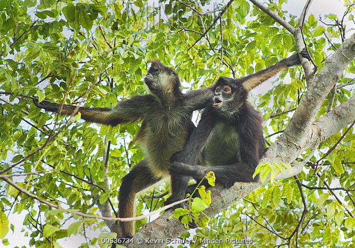 Yucatan Spider Monkey (Ateles geoffroyi yucatanensis) pair in tree, Yucatan Peninsula, Mexico  -  Kevin Schafer