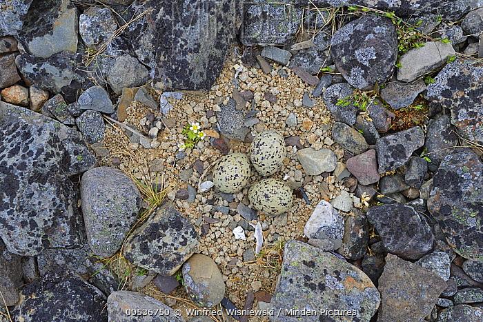 Eurasian Oystercatcher (Haematopus ostralegus) nest with eggs, Varanger Peninsula, Norway  -  Winfried Wisniewski