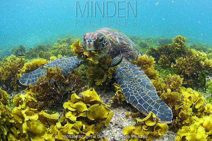 Green Sea Turtle (Chelonia mydas) feeding on seaweed, Puerto Egas, Santiago Island, Galapagos Islands, Ecuador  -  Tui De Roy