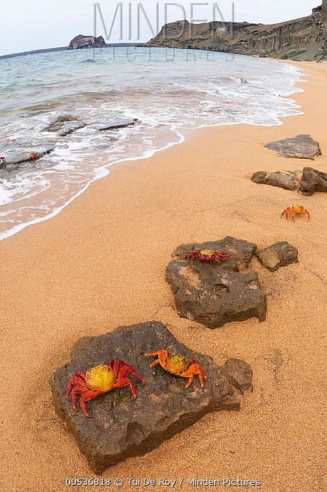 Sally Lightfoot Crab (Grapsus grapsus) group on beach, Bartolome Island, Galapagos Islands, Ecuador  -  Tui De Roy