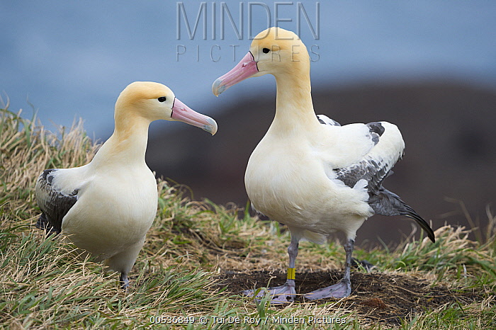 Short-tailed Albatross (Phoebastria albatrus) pair at nest, Tsubamezaki, Torishima Island, Japan  -  Tui De Roy