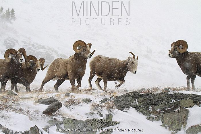 Bighorn Sheep (Ovis canadensis) rams pursuing ewe in snowstorm, Glacier National Park, Montana  -  Sumio Harada