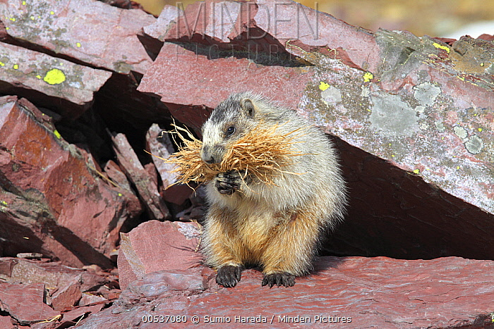Hoary Marmot (Marmota caligata) carrying nesting material, Glacier National Park, Montana  -  Sumio Harada