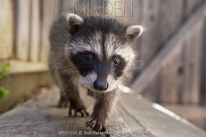 Raccoon (Procyon lotor) orphaned baby exploring backyard of foster home, WildCare Wildlife Rehabilitation Center, San Rafael, California  -  Suzi Eszterhas