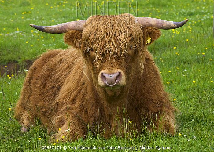 Highland Cattle (Bos taurus) in green pasture, Isle of Skye, Scotland  -  Yva Momatiuk & John Eastcott