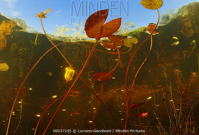 Aquatic plants and fish in a shallow lake, rainy season, Pantanal, Brazil  -  Luciano Candisani