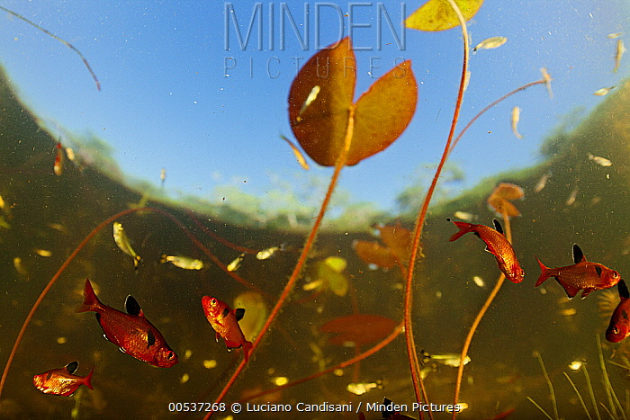 Serpae Tetra (Hyphessobrycon eques) group in a shallow lake amid waterlilies, Pantanal, Brazil  -  Luciano Candisani
