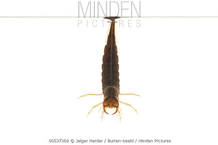 Great Diving Beetle (Dytiscus marginalis) larvae, Zevenaar, Netherlands  -  Jelger Herder/ Buiten-beeld