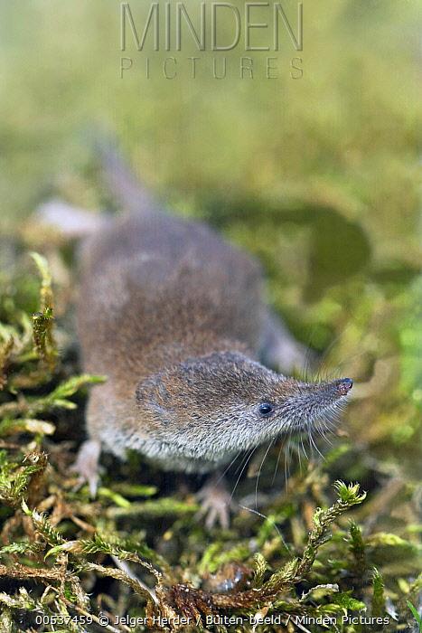 Pygmy Shrew (Sorex minutus), Zierikzee, Netherlands  -  Jelger Herder/ Buiten-beeld