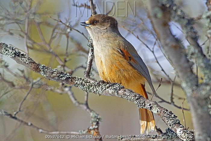 Siberian Jay (Perisoreus infaustus) calling, Sweden  -  Michiel Schaap/ Buiten-beeld