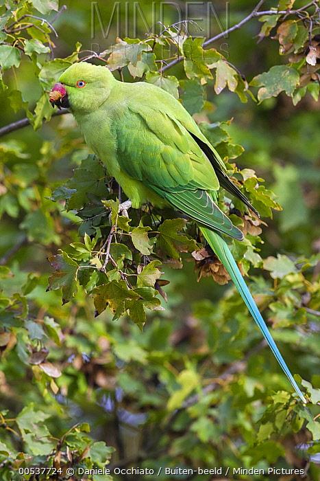 Rose-ringed Parakeet (Psittacula krameri), Florence, Italy  -  Daniele Occhiato/ Buiten-beeld