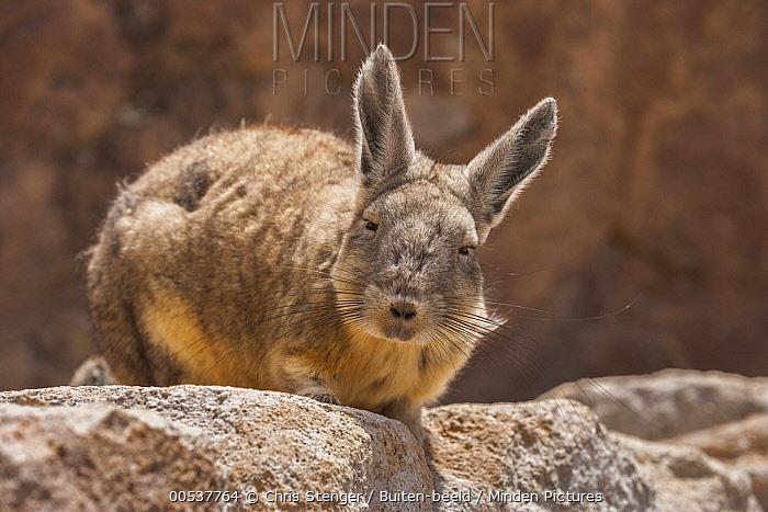 Southern Viscacha (Lagidium viscacia), Salar de Surire National Monument, Chile  -  Chris Stenger/ Buiten-beeld