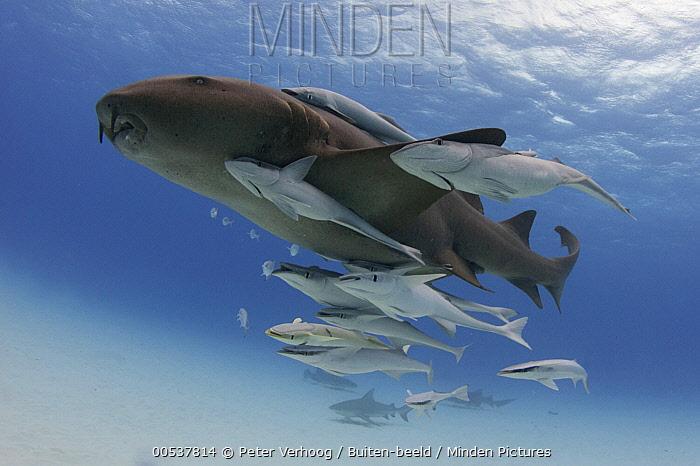 Short-tail Nurse Shark (Ginglymostoma cirratum) with remoras, Bimini, Bahamas, Caribbean  -  Peter Verhoog/ Buiten-beeld