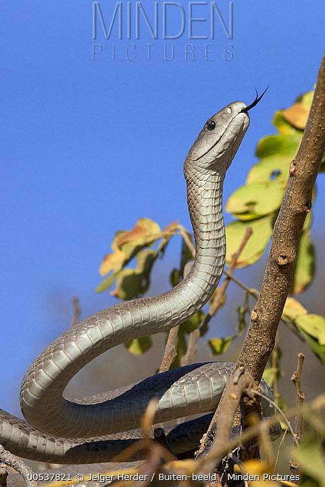 Black Mamba (Dendroaspis polylepis) climbing tree, Kruger National Park, South Africa  -  Jelger Herder/ Buiten-beeld