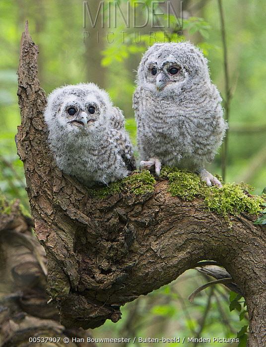 Tawny Owl (Strix aluco) chicks, Hof Van Twente, Netherlands  -  Han Bouwmeester/ Buiten-beeld
