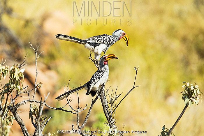 Eastern Yellow-billed Hornbill (Tockus flavirostris) pair, Mapungubwe National Park, South Africa  -  Richard Du Toit