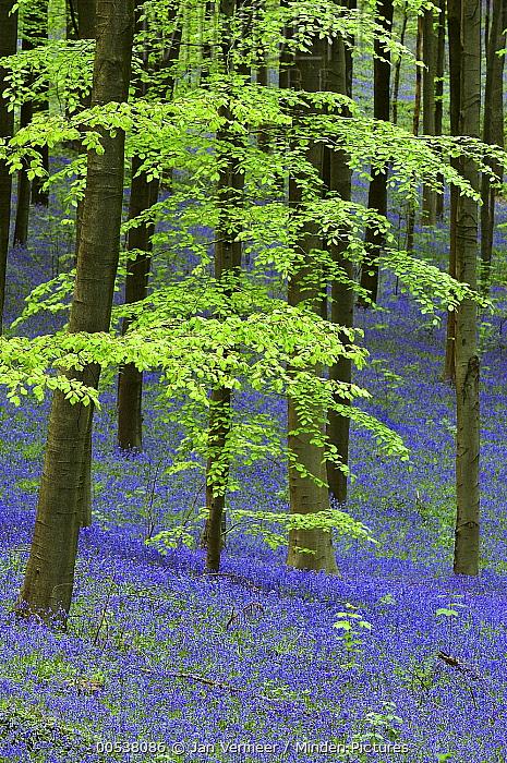 English Bluebell (Hyacinthoides nonscripta) flowering in forest, Hallerbos, Belgium  -  Jan Vermeer