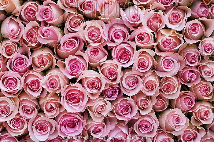 Rose (Rosa sp) flowers  -  Jan Vermeer