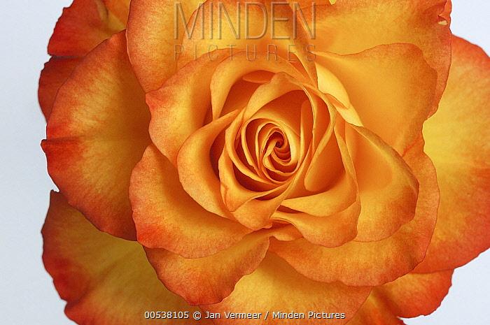 Rose (Rosa sp) flower  -  Jan Vermeer