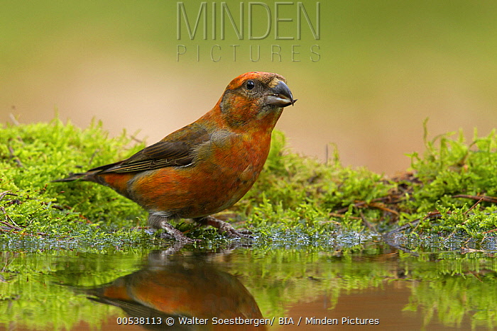 Red Crossbill (Loxia curvirostra) male at pond, Utrecht, Netherlands  -  Walter Soestbergen/ BIA