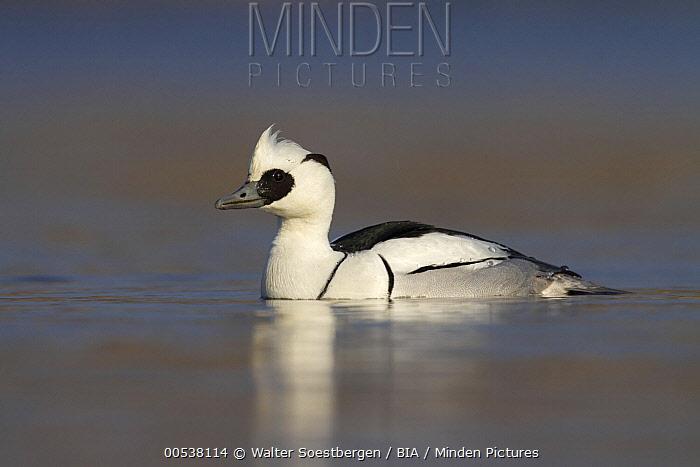 Smew (Mergellus albellus) male, Utrecht, Netherlands  -  Walter Soestbergen/ BIA