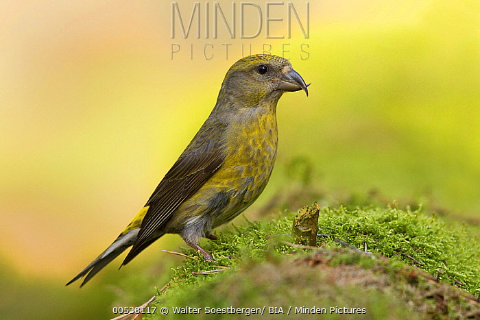 Red Crossbill (Loxia curvirostra) female, Utrecht, Netherlands  -  Walter Soestbergen/ BIA