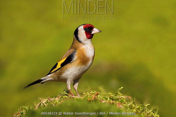 European Goldfinch (Carduelis carduelis), Utrecht, Netherlands  -  Walter Soestbergen/ BIA