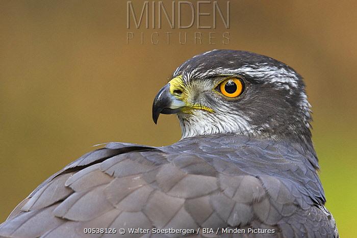 Northern Goshawk (Accipiter gentilis) male, Utrecht, Netherlands  -  Walter Soestbergen/ BIA