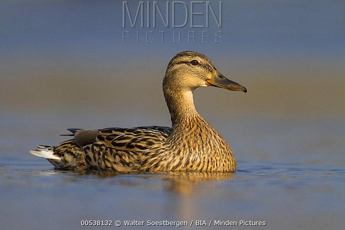 Mallard (Anas platyrhynchos) female, Utrecht, Netherlands  -  Walter Soestbergen/ BIA