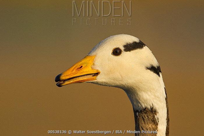 Bar-headed Goose (Anser indicus), Utrecht, Netherlands  -  Walter Soestbergen/ BIA