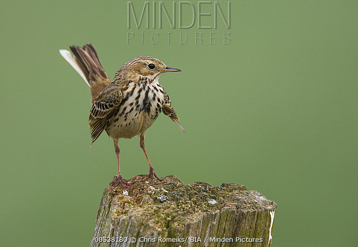 Meadow Pipit (Anthus pratensis), Schleswig-Holstein, Germany  -  Chris Romeiks/ BIA